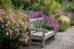 Bench in front of a border at Wynrad Hall. Rosa 'Hyde Hall' syn 'Ausbosky' in the foreground, Rosa 'Scepter'd Isle' syn 'Ausland' beyond. Planting includes echinops and salvias.