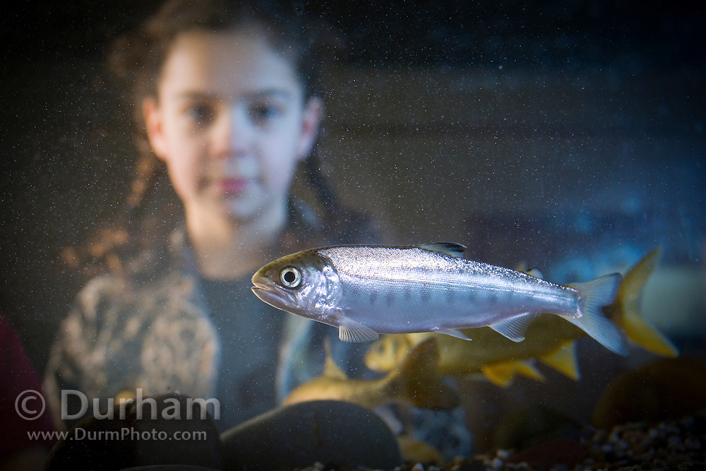 A nine year old girl observes a coho salmon fry (Oncorhynchus kisutch), an endangered species, in an aquarium at the water Resources Education Center in Washington. (Fully Released)