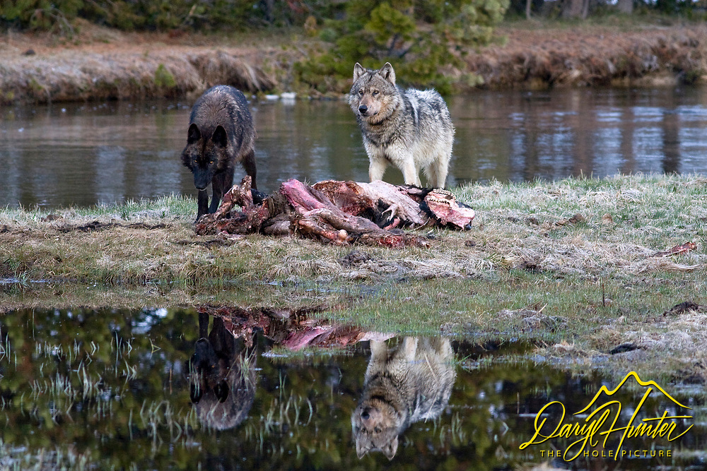Two Wolves cast a their reflection into a pool by their bison dinner in Yellowstone National Park<br />