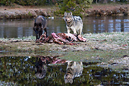 Two Wolves cast a their reflection into a pool by their bison dinner in Yellowstone National Park
