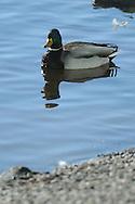 Mallard on pond in upstate, NY.