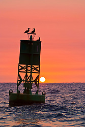 brown boobies, Sula leucogaster, resting on buoy at sunset, Kona, Big Island, Hawaii, Pacific Ocean