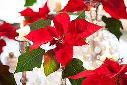 Christmas table display with Poinsettia 'Infinity'