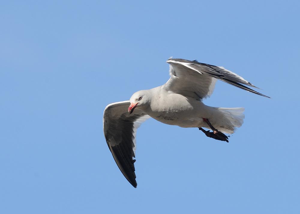A Dolphin Gull (Leucophaeus scoresbii) in breeding plumage in flight. Saunders Island, Falkland Islands.