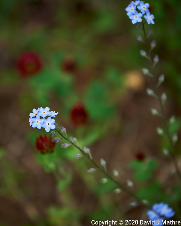 Forget-me-not. Image taken with a Nikon Df camera and 70-200 mm f/2.8 lens.