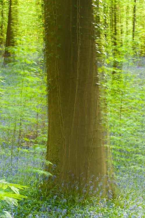 Beech Fagus sylvatica trunk and bluebells Hyacinthoides non-scripta, Hallerbos forest, Belgium