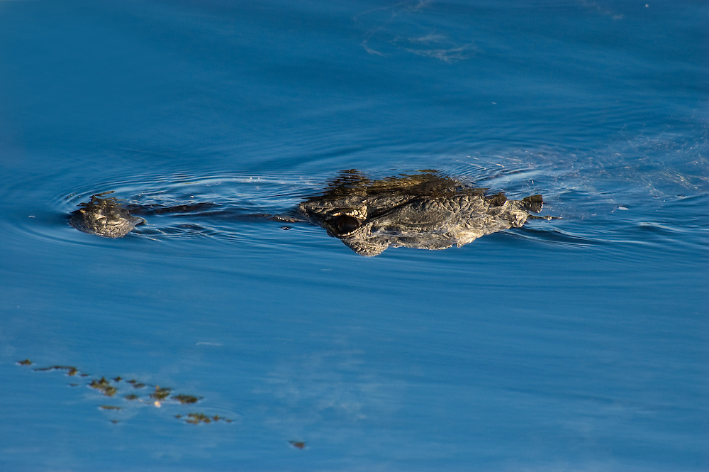 Alligator swimming in the Turner River, Collier County, Florida.