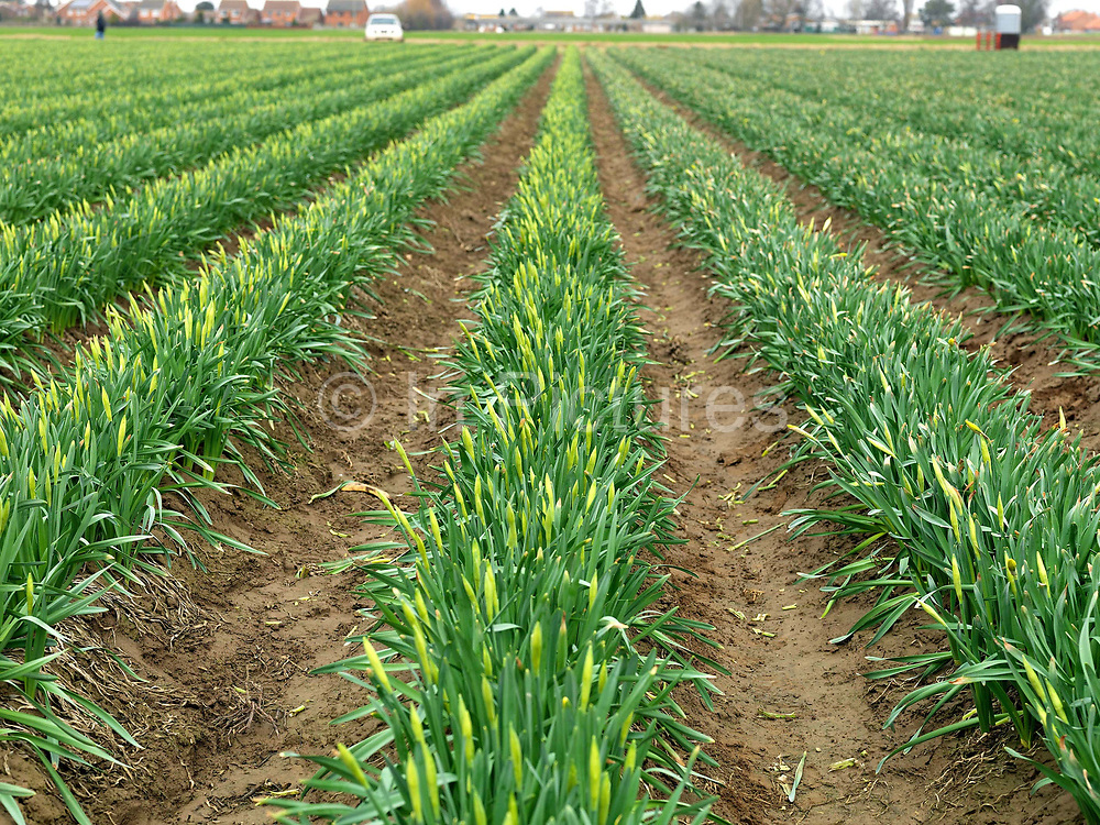 Rows of daffodils waiting to be picked in a field farmed by commercial bulb grower Walkers Bulbs At Taylors, Holbeach, Spalding, Lincolnshire, UK