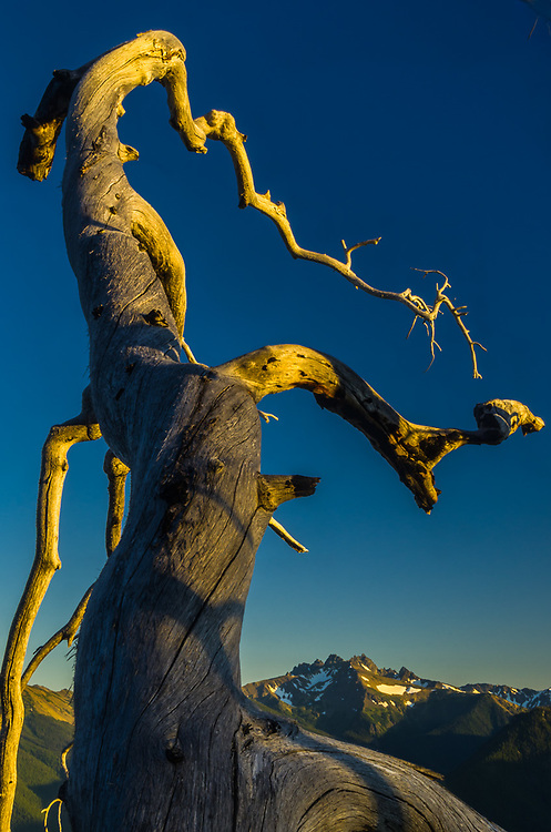 Graywolf Ridge, weathered tree, evening light, August, view from Deer Park, Olympic National Park, Clallam County, Washington, USA