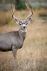 Mule deer buck in velvet, Vermejo Park Ranch, New Mexico, USA.