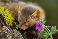 Marten resting portrait on mossy tree stump with flower.  [This animal was born and raised in captivity, photographed in an outdoor setting in Montana.] © David A. Ponton