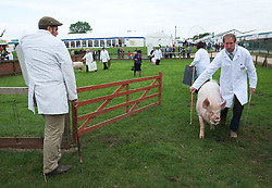 © Licensed to London News Pictures. <br /> 08/07/2014. <br /> <br /> Harrogate, United Kingdom<br /> <br /> Pigs are led around a show arena during judging on the first day of the Great Yorkshire Show.  The show is England's Premier Agricultural Event and is based on the 250-acre Great Yorkshire Showground near Harrogate. The Main Ring is the hub of the Show providing a setting for international show jumping and world class cattle parade. The showground is filled with animals, country demonstrations, have-a-go activities and rural crafts.<br /> <br /> Photo credit : Ian Forsyth/LNP