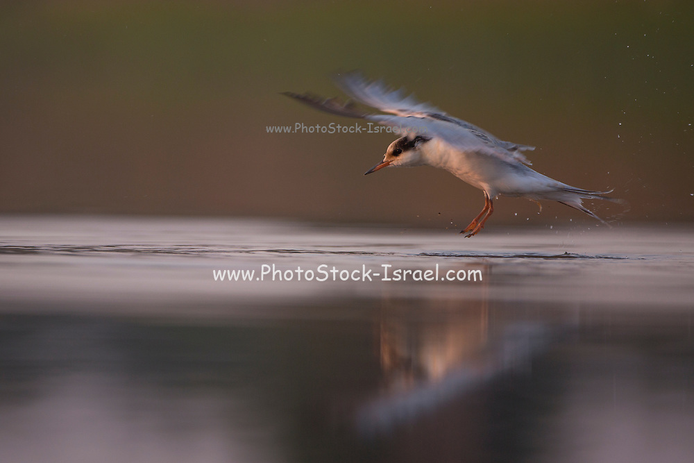 white-winged tern, or white-winged black tern (Chlidonias leucopterus or Chlidonias leucoptera), at take off. This tern is distributed throughout eastern Europe and the Mediterranean coast, with the highest populations living in the Ukraine. It inhabits freshwater marshes, which are also its breeding grounds. White-winged terns are migrant birds and fly south to Africa during Europe's winter months. Photographed in Israel in September