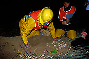 volunteers remove and count eggs from nest of Australian flatback sea turtle, Natator depressus, Curtis Island, Queensland, Australia