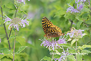 03322-01815 Great Spangled Fritillary (Speyeria cybele) on Wild Bergamot (Monarda fistulosa) Marion Co. IL
