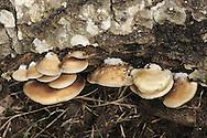 Crepidotus mollis - Peeling Oysterling