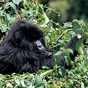 Mountain Gorilla, (Gorilla gorilla beringei) Female feeding. Volcanoes National Park. Rwanda. Africa.