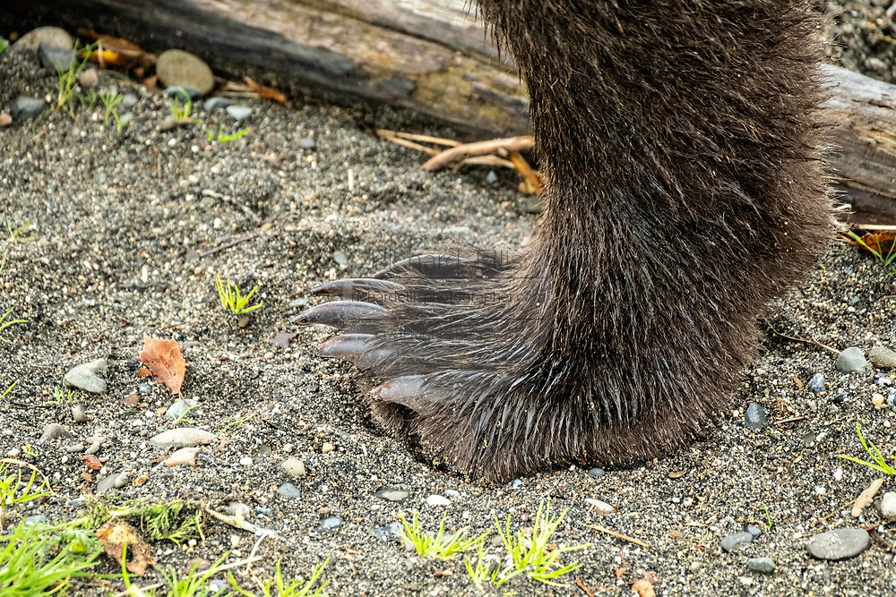 Claws on the rear foot of a Brown Bear in Katmai National Park and Preserve September 16, 2019 near King Salmon, Alaska. The park spans the worlds largest salmon run with nearly 62 million salmon migrating through the streams which feeds some of the largest bears in the world.