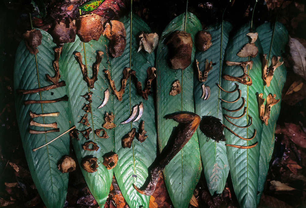Parintins, Amazonas - Brazil...October, 2006...Bones of eaten preys are collected by researchers in the nests and surrounding the respective trees. The analysis of these samples is essential to identify the harpy's prey...Photo: Joao Marcos Rosa / Nitro