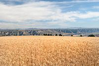 Wheat Fields Montana