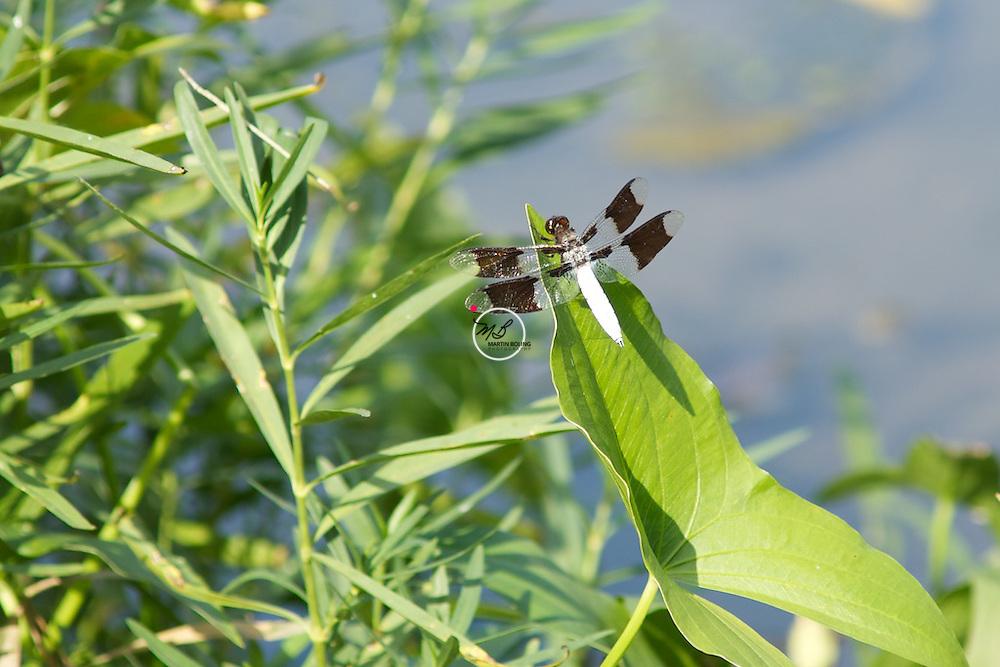 Whitetail Dragonfly, Male, powdery white abdomen, spring mill state park