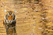 An endangered Bengal tiger (Panthera tigris tigris) sitting in a water hole, Ranthambhore National Park, Rajasthan, India,