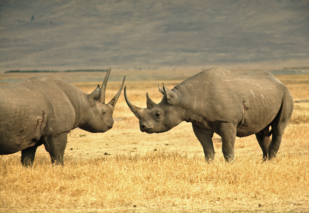 Two black rhinos face off in Ngorongoro Crater National Park, Tanzania.