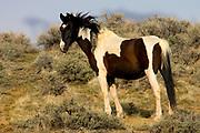 Feral Horse, Equus ferus, At McCullough Peaks Wildlife Management Area, Wyoming, United States