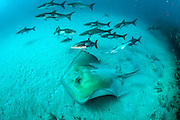A school of Cobia, rachycentron canadum, swims near a Roughtail Stingray, Dasyatis centroura, on a coral reef offshore Palm Beach, Florida, United States.