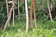 "Palm trees on the beach used for the TV series ""Survivor: Vanuatu"", on the eastern side of Efate, Vanuatu."