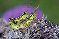 Alpine grasshopper (Miramella alpina) on a thistle, mating<br /> Triglav National Park, Slovenia<br /> August 2009