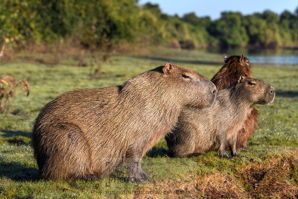 Capybara (Hydrochoerus hydrochaeris) family in the Pantanal, Mato Grosso do Sul, Brazil