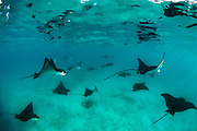 Spotted eagle ray (Aetobatus narinari) aggregation<br /> Santa Fe Island<br /> Galapagos<br /> Pacific Ocean<br /> Ecuador, South America<br /> IUCN Red Data: near threatened
