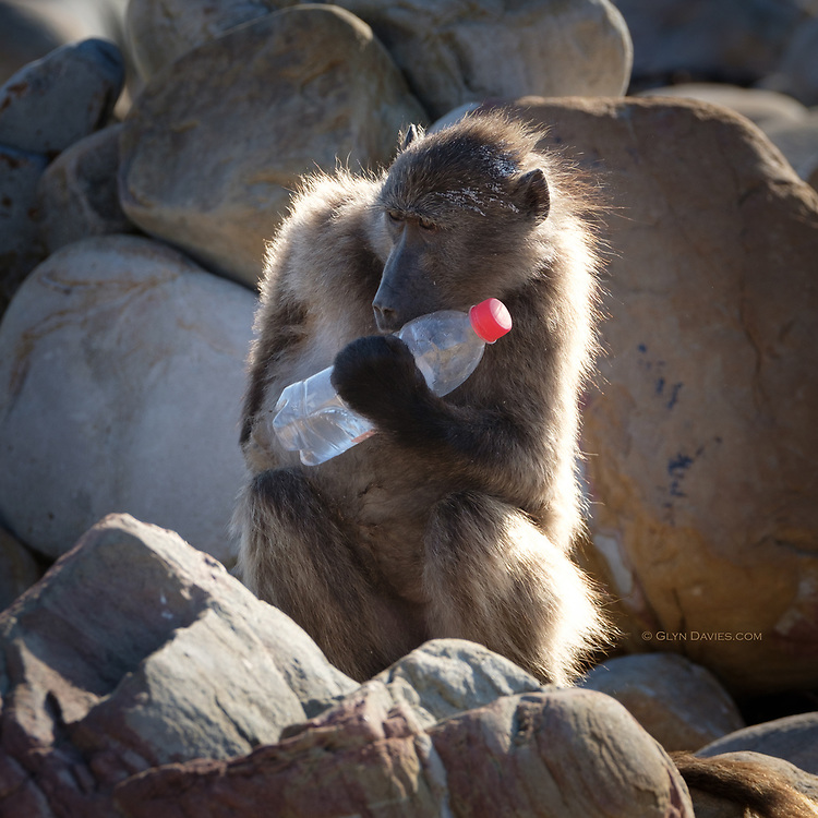 Something utterly surreal and very sad about this baboon on a baking hot beach at Cape of Good Hope, trying to access the drink in the washed up bottle.