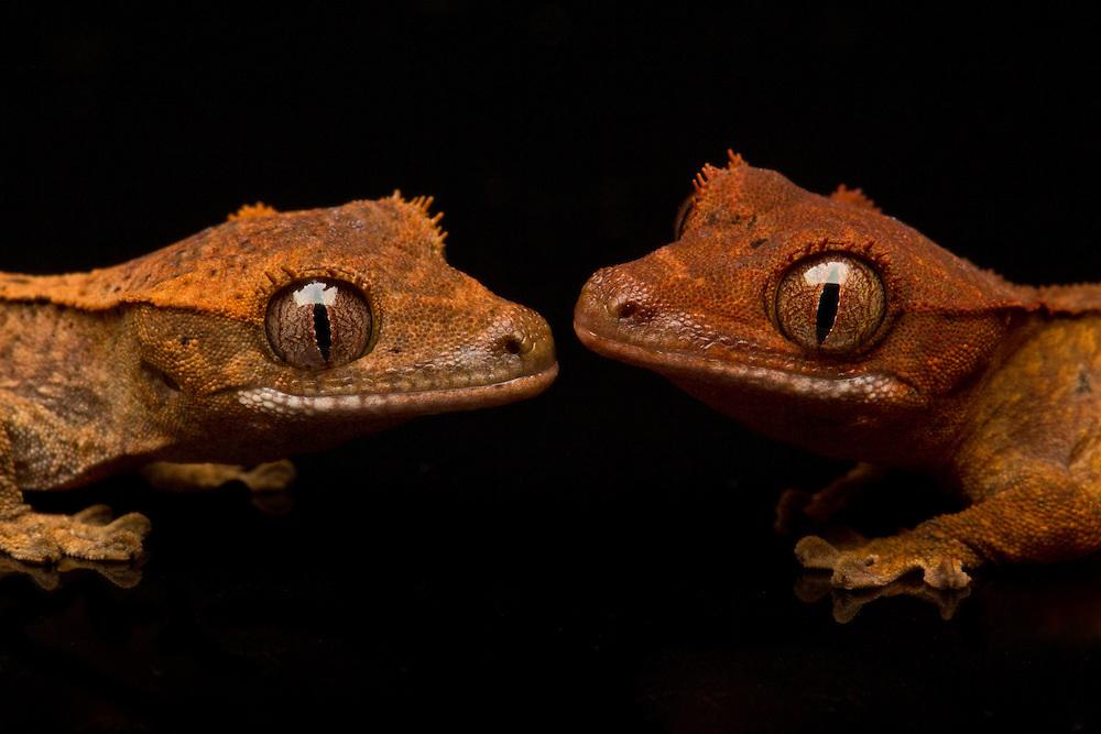 Portrait of Crested Gecko babies on a black background.
