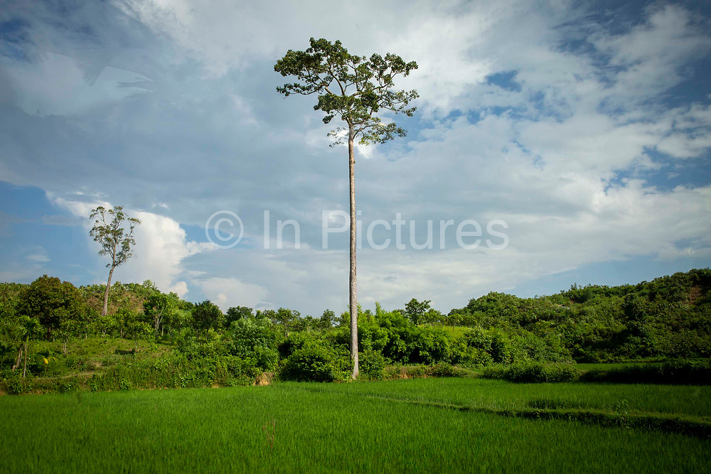 A tall tree stands in the corner of a A large green rice paddy field from Teknaf Highway, near Cox Bazar, Chittagong Division, Bangladesh, Asia. The blue sky is full of thick white clouds.