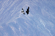 Colca Canyon - Tuesday, Dec 17 2002: A pair of Andean Condors (Vultur gryphus) soar over the Colca Canyon, Peru. The male is on the left. (Photo by Peter Horrell / http://www.peterhorrell.com)