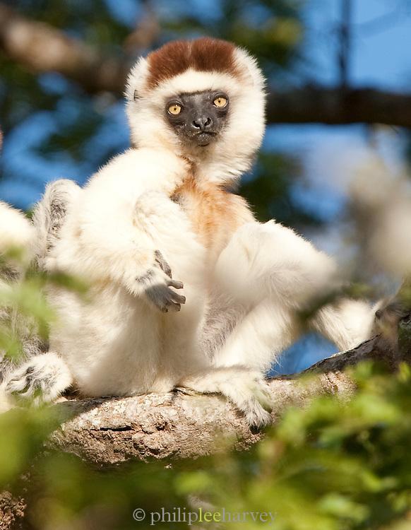 Verreauxs 'Dancing' Sifaka, Berenty Reserve, Mdagascar