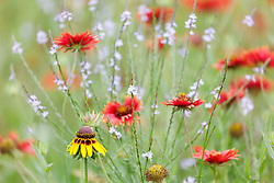 Assorted wildflowers on Hill Country roadside north of Mason, Texas USA.