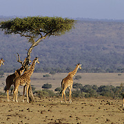 Giraffe (Giraffa camelopardalis) herd on the Serengeti Plains. Masai Mara National Reserve, Kenya, Africa