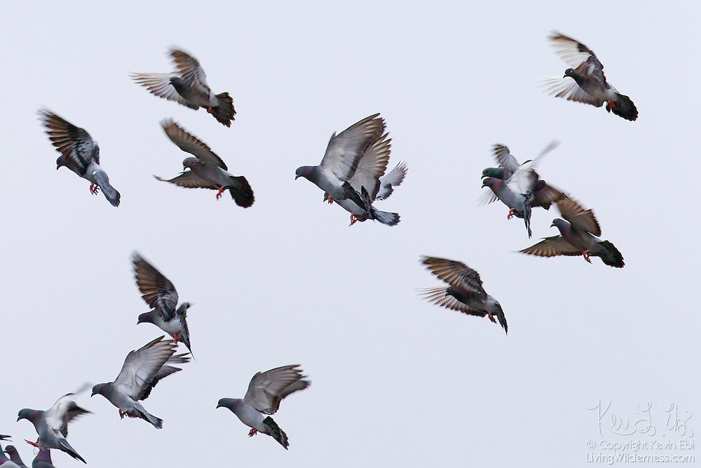 A large flock of pigeons, otherwise known as rock doves (Columba livia), comes in for a landing on a perch above the Snohomish River in Kenmore, Washington.
