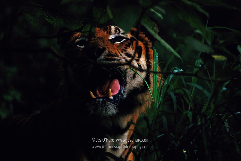 Sumatran Tiger, Indonesia.