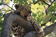 Leopard in tree<br />Panthera pardus<br />Okavango Delta, BOTSWANA