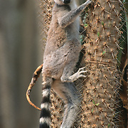 Ring-tailed Lemur (Lemur catta) in the spiny thickets of Madagascar.