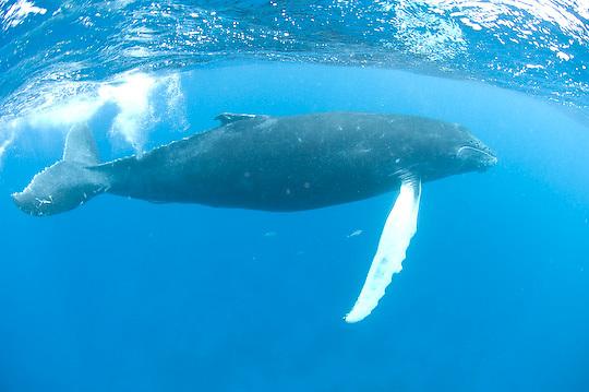 Humpback Whale (Megaptera novaeangliae) calf. Caribbean Ocean.