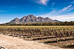 Aug. 22, 2012 - Vines in vineyard (Credit Image: © Image Source/ZUMAPRESS.com)