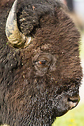 Bison outside of Yellowstone National Park, Montana.
