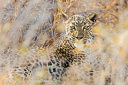 Leopard at Etosha National Park, Namibia, Africa