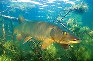 Muskellunge<br /> <br /> Engbretson Underwater Photo