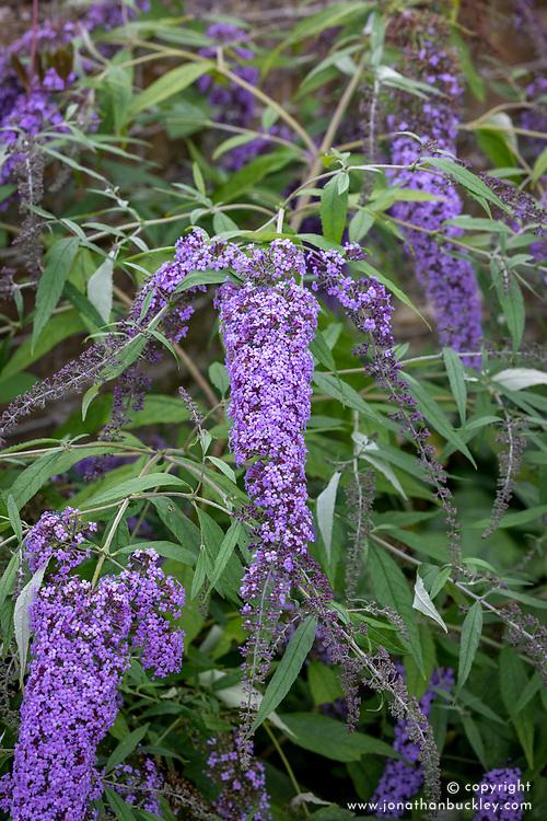 Buddleja davidii 'Wisteria Lane'  - Butterfly bush